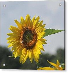Sunflower 5 Acrylic Print