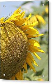 Sunflower 8 Acrylic Print