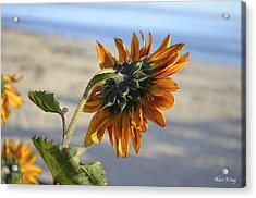 Acrylic Print featuring the photograph Sunflower by Alex King