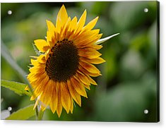 Sunflower Acrylic Print by Andreas Levi