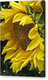 Sunflower  Acrylic Print by Ann Bridges
