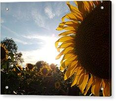 Sunflower Acrylic Print by Ashley Thompson