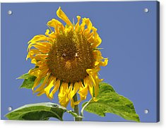 Sunflower At Latrun Acrylic Print