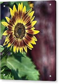 Sunflower At The Barn Acrylic Print