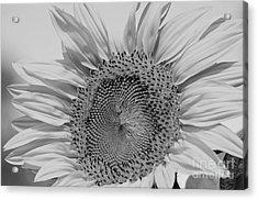 Sunflower Black And White Acrylic Print by Wilma  Birdwell