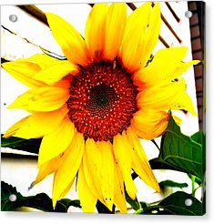 Sunflower Blossom  Acrylic Print by Naomi Burgess