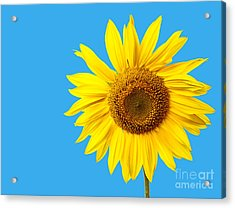 Sunflower Blue Sky Acrylic Print by Edward Fielding