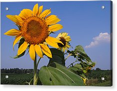 Sunflower Blues Acrylic Print by Frozen in Time Fine Art Photography