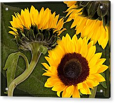 Acrylic Print featuring the photograph Sunflower  by Bob Coates