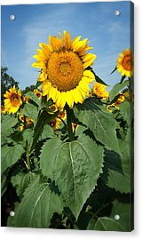 Acrylic Print featuring the photograph Sunflower by Bud Simpson