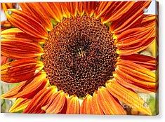 Sunflower Burst Acrylic Print by Kerri Mortenson