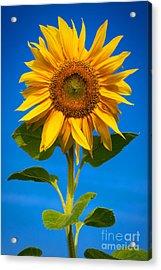 Sunflower Acrylic Print by Carsten Reisinger