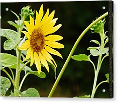 Sunflower Cheer Acrylic Print by VLee Watson