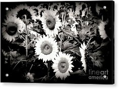Sunflower Cinema In Black And White Acrylic Print by Janine Riley