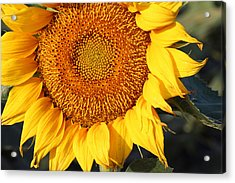Sunflower - Closeup Acrylic Print by Susan Schroeder