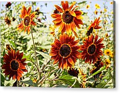 Sunflower Cluster Acrylic Print by Kerri Mortenson