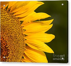 Acrylic Print featuring the photograph Sunflower Dew by Dale Nelson