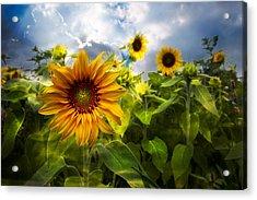 Sunflower Dream Acrylic Print by Debra and Dave Vanderlaan