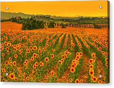 Sunflower Dream Acrylic Print
