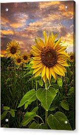 Sunflower Dusk Acrylic Print by Debra and Dave Vanderlaan