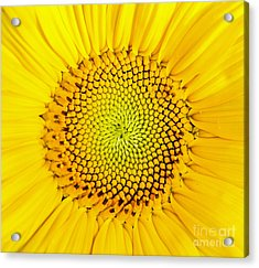 Acrylic Print featuring the photograph Sunflower  by Edward Fielding