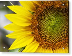 Sunflower Face Acrylic Print by Shelly Gunderson