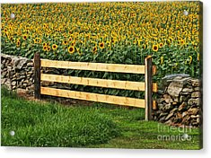 Sunflower Fence Acrylic Print by Marcel  J Goetz  Sr
