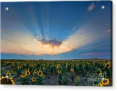 Sunflower Field At Sunset Acrylic Print by Jim Garrison