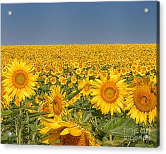 Sunflower Field Acrylic Print by Dale Nelson