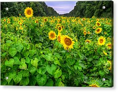 Sunflower Field In Oil Acrylic Print by Michael Donahue