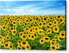 Sunflower Field Acrylic Print by Mike Ste Marie