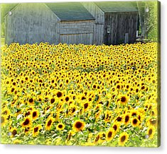 Sunflower Field Of Dreams Acrylic Print by Kathy Kenney