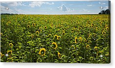 Sunflower Field Panorama Acrylic Print