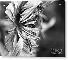 Sunflower Focus Acrylic Print by Terry Rowe