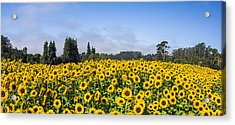 Sunflower Horizon Acrylic Print