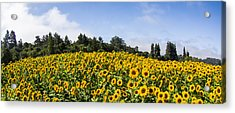 Sunflower Horizon Number 2 Acrylic Print