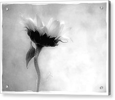 Sunflower In Profile Acrylic Print by Louise Kumpf