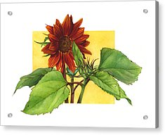 Sunflower In Red Acrylic Print by Suzannah Alexander
