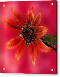 Sunflower In Red Acrylic Print by Viktor Savchenko