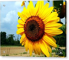 Sunflower In Summer Acrylic Print