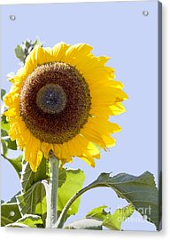 Sunflower In The Blue Sky Acrylic Print by David Millenheft