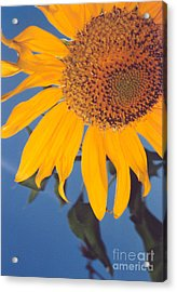 Sunflower In The Corner Acrylic Print by Heather Kirk