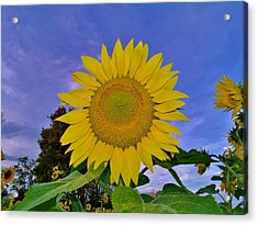 Sunflower In The Sky Acrylic Print