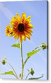 Sunflower In The Sky Acrylic Print by Kerri Mortenson