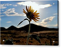 Acrylic Print featuring the photograph Sunflower In The Sun by Matt Harang