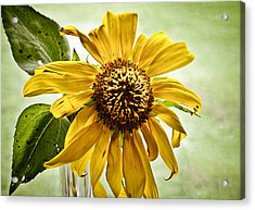 Sunflower In Window Acrylic Print