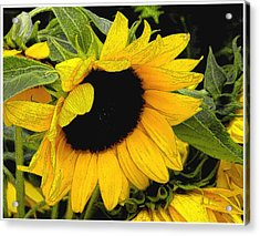 Acrylic Print featuring the photograph Sunflower by James C Thomas