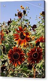 Sunflower Layers Acrylic Print by Kerri Mortenson