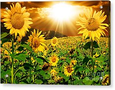 Acrylic Print featuring the photograph Sunflower Light Magic by Boon Mee
