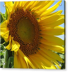 Sunflower Acrylic Print by Lne Kirkes